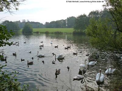 Schwäne und Enten im Park