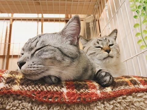 我が家のサバトラ猫テト(とムク)