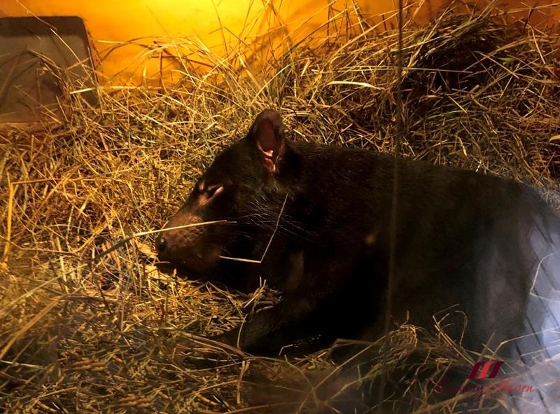 healesville sanctuary australian wildlife tasmanian devil