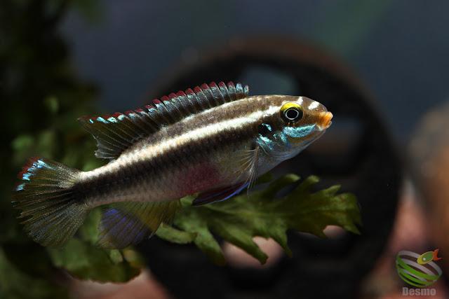 Pelvicachromis sacrimontis