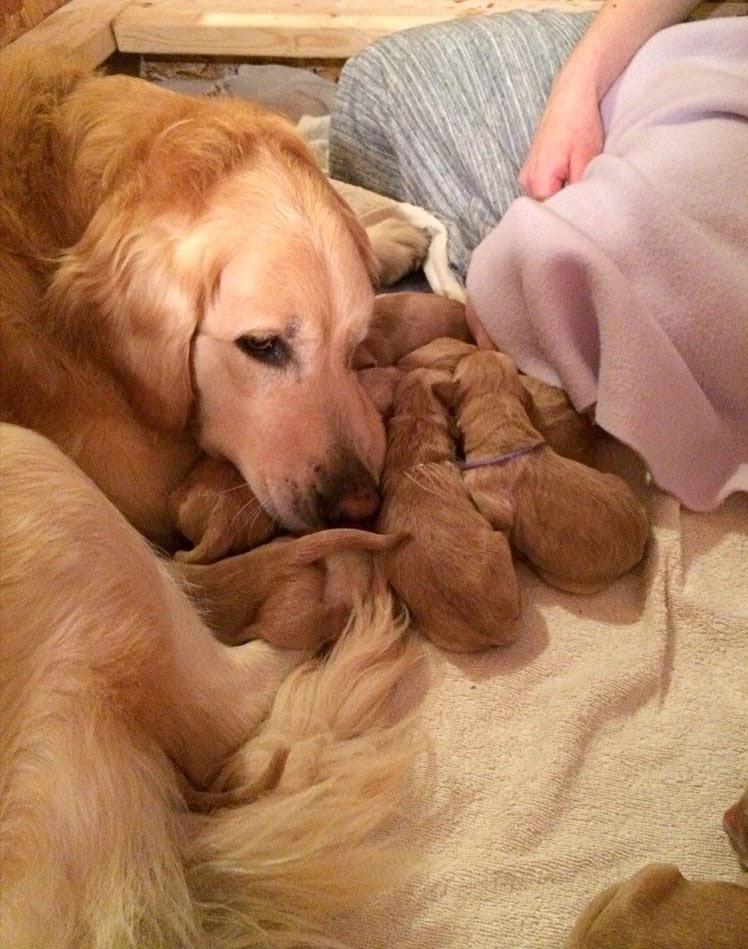 Golden Retriever Mama And Her Babies