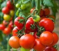 budidaya, tomat, budidaya tomat, solanum lycopersicum