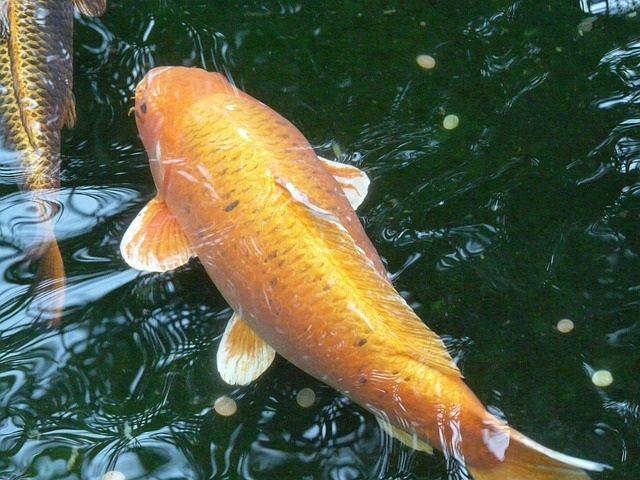 Umpan Ikan Mas Jitu Sudah Terbukti Dari Dulu Hingga Sekarang