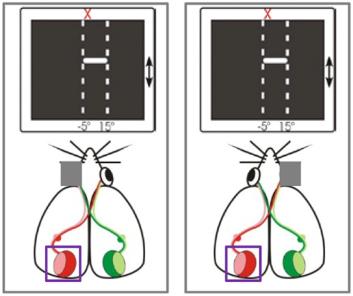 図:眼優位可塑性