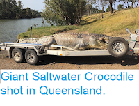 http://sciencythoughts.blogspot.co.uk/2017/09/giant-saltwater-crocodile-shot-in.html