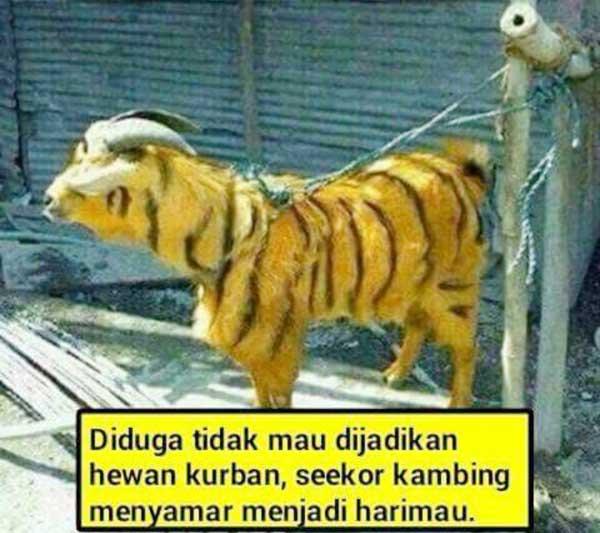 Gambargambar Meme lucu Hewan Kurban idul adha ngakak
