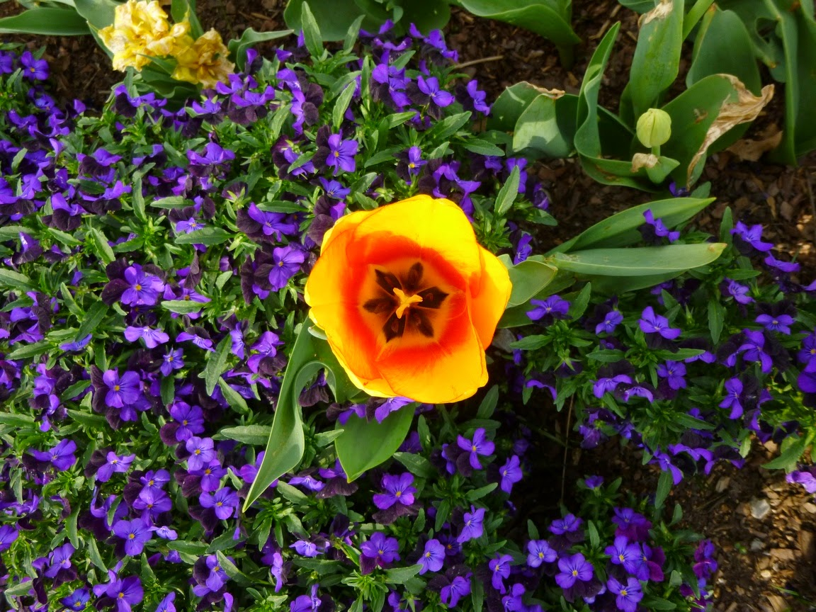 Yellow tulip with violas