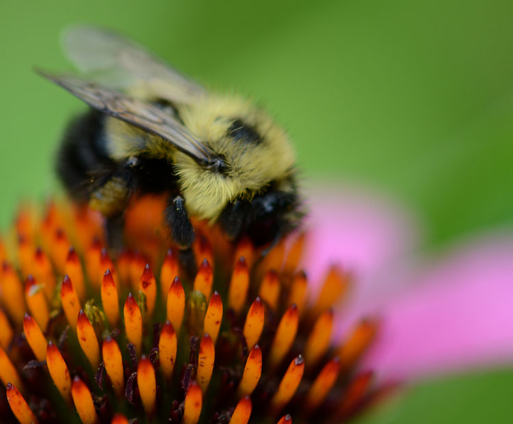 Fuzzy hair on a bumble bee are actually setae