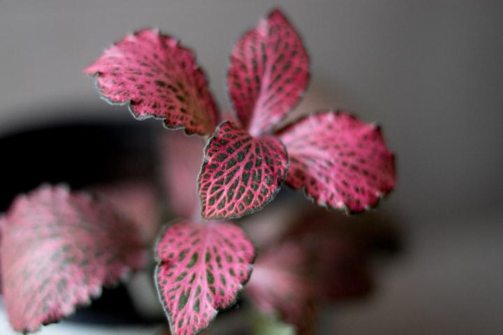 fitonia-blog-oliandmoli-7-plantas-navideñas