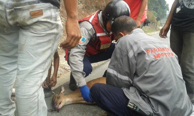 Sólo en Venezuela atropellan a un VENADO en plena autopista