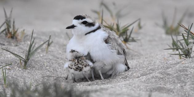 Chorlo nevado y su polluelo en dunas de Tongoy.