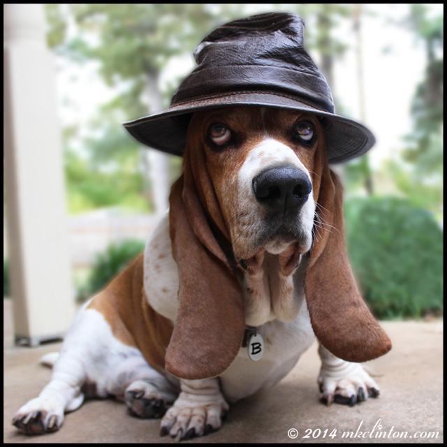 Basset Hound wearing leather hat