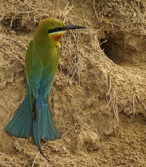 Indian birds - Picture of Blue-tailed bee-eater - Merops philippinus