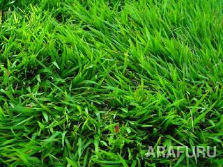 jenis-jenis-rumput-jepang.jpg
