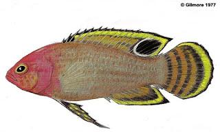 Lipogramma Anabantoides - ikan Dusky basslet
