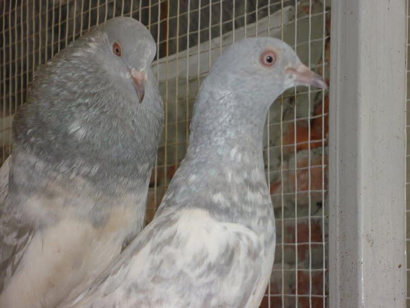 Kabootar Pigeons Tipplers: Salety Pigeons Photos | Kabootar