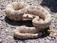 As Cobras venenosas mais perigosas do Brasil