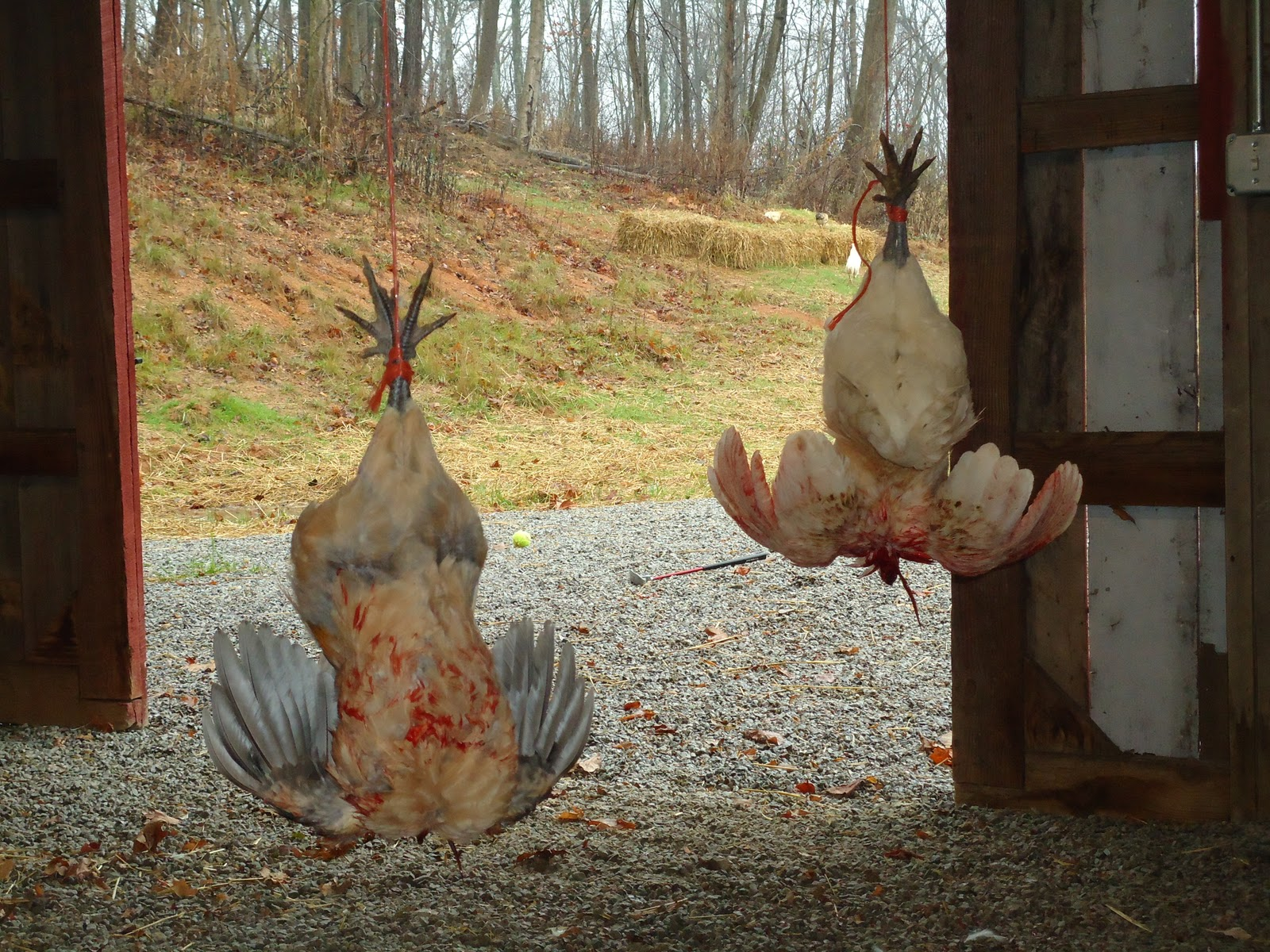 Kfc Chickens Without Heads - photo#29