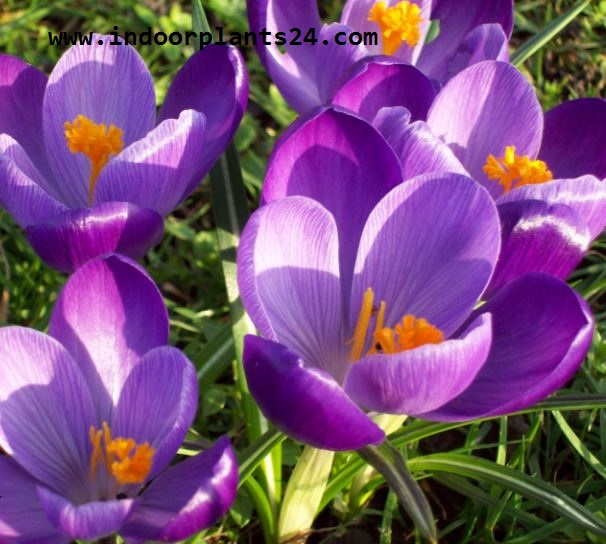 Crocus Plant Iridaceae Dutch Crocus PlanT picture