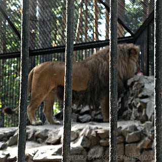 Image of Lion at Novosibirsk Zoo (Close But Still Outside - Mark 3:31-35 post 2)
