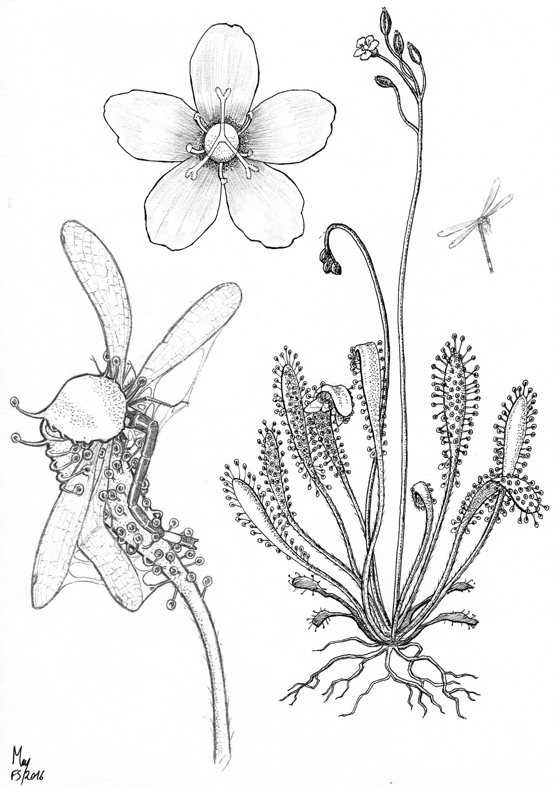 botanical illustrations for new carnivorous plant book by tim