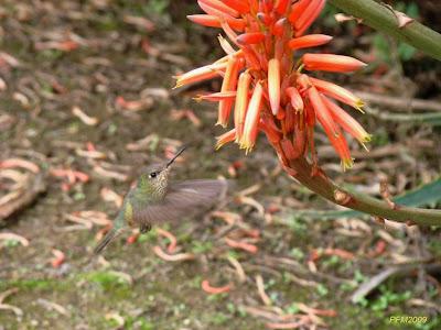Picaflor rubí Sephanoides sephanoides