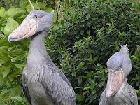 Shoebill или китоглав самые страшные птицы