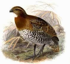 Tawny Faced-quail