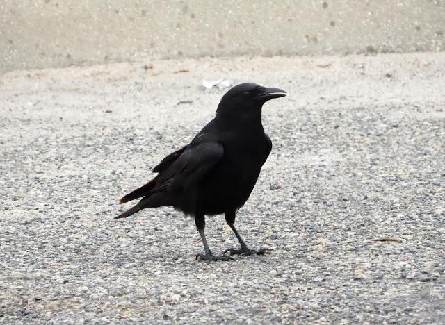 Fish Crow - Merritt Island, Florida