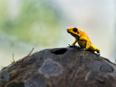 Karnataka: Found new frog by Indian researcher-led team