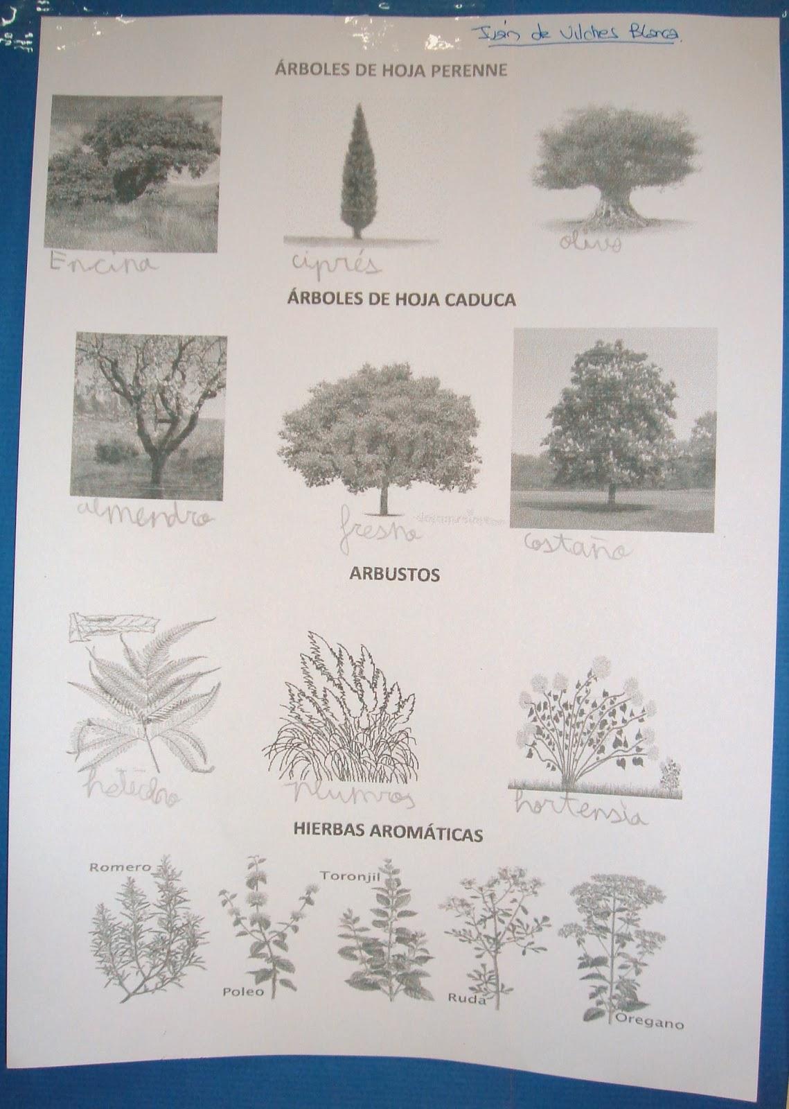 En busca del coraz n verde los seres vivos las plantas 4 for Diferencia entre arboles de hoja caduca y hoja perenne