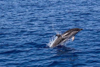 Salah satu mamalia air yang dikenal cerdas dengan penampilan lucu menggemaskan dan tentun Contoh Report Text about Dolphin dan Arti Terjemahannya