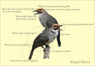 Burung Cucak Rowo - Ciri-Ciri Cara Membedakan Burung Cucak Rowo Jantan dan Betina Melihat Tingkah Laku dan Gerakannya - Penangkaran Burung Cucak Rowo