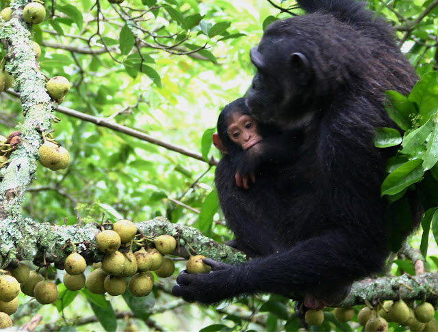 Study of chimpanzees explores the early origins of human hand dexterity