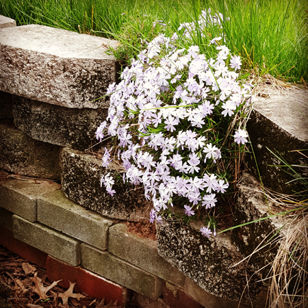 image of some tiny purple flowers growing out of a stone wall