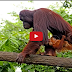 Rainforest animal Monkey in tropical south africa, wildlife Monkeys life cycle