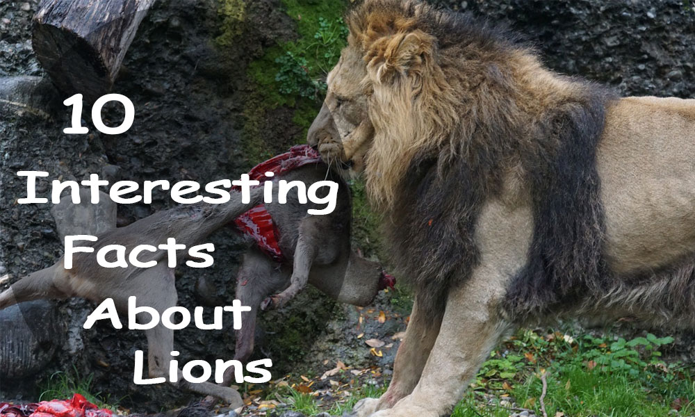 10 Interesting Facts About Lions | Top10ence