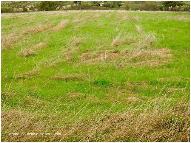 Pradera verde con manchones de gramíneas amarillentas - Chacra Educativa Santa Lucía