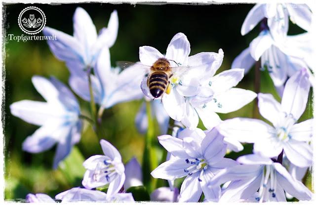 Gartenblog Topfgartenwelt Insekten: Biene im Anflug auf Blausternchen