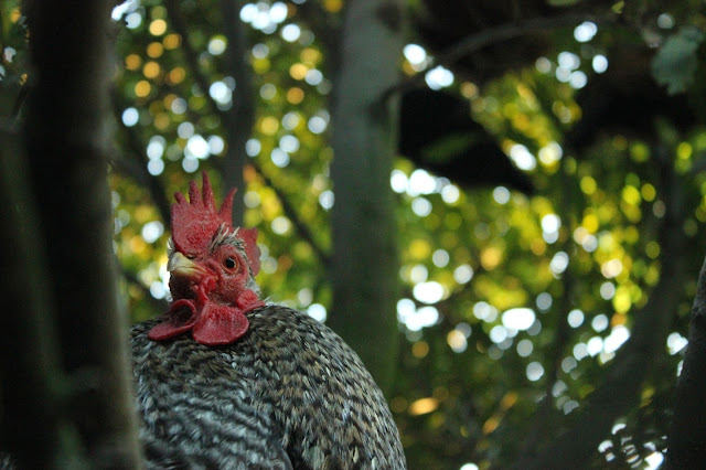 Cuckoo Cochin Rooster for a forest garden