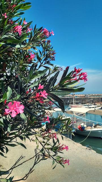 kwitnące kwiaty oleander, Grecja