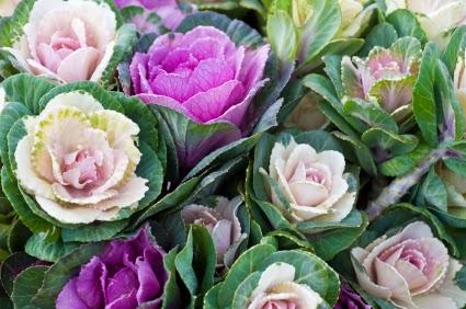 Inspiration shabby fiori di cavolo e verza for Fiori ornamentali