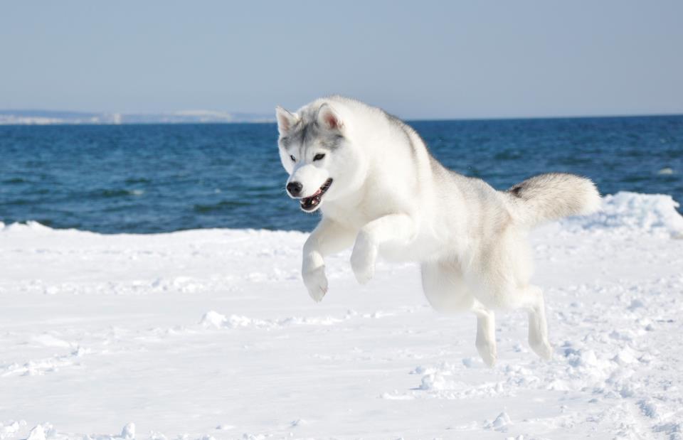 PERROS, MASCOTAS. husky siberiano,pets,dogs,puppies,siberian huskys: HUSKY  SIBERIANO