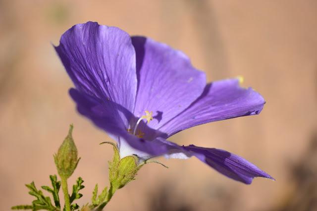 small sunny garden, desert garden, amy myers, photography, about the garden, plant selection, alyogyne huegelii, blue hibiscus