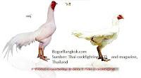 Gambar Ayam Jago Bangkok Thailand