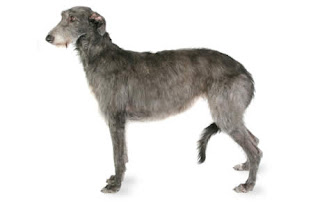 Everything about your Scottish Deerhound