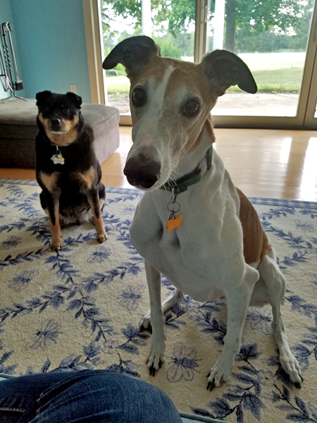 image of Dudley the Greyhound and Zelda the Black and Tan Mutt sitting in the sunroom and looking at me plaintively