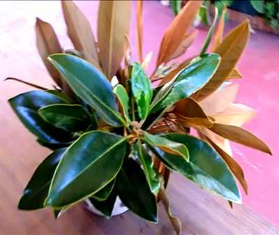How To Grow Magnolia Tree From Cuttings Magnolia Propagation