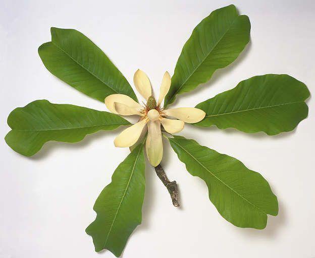 Hoa Giổi (Dổi) - Talauma gioi - Nguyên liệu làm thuốc Chữa Tê Thấp và Đau Nhức