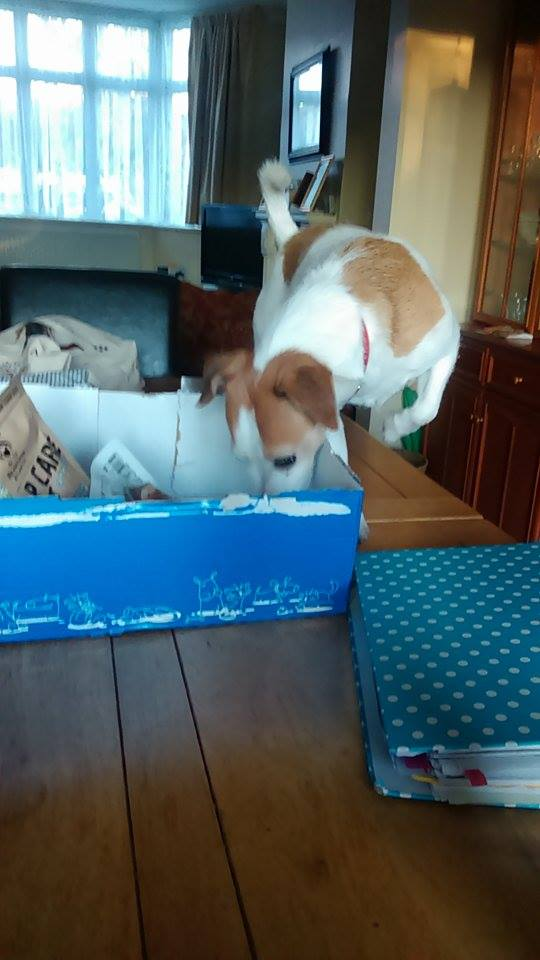 Jack russell pawsomebox